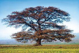 Forró-kúti tölgyfa